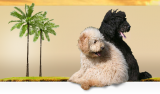 Dogs Paradise Labradoodles logo